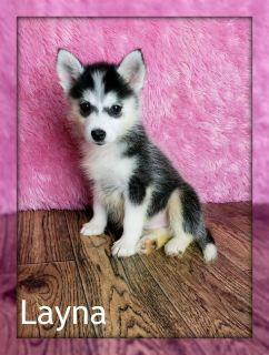 Layna: Female Pomsky