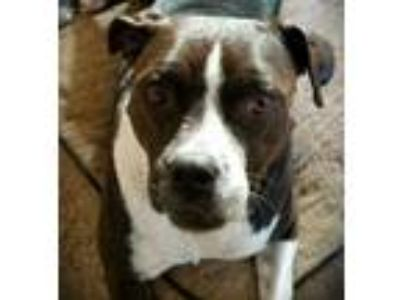 Adopt Diana a Pit Bull Terrier / Boxer / Mixed dog in St. Louis, MO (25371727)
