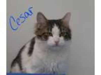 Adopt Cesar a Spotted Tabby/Leopard Spotted Domestic Longhair (long coat) cat in