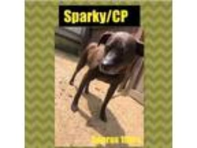 Adopt Sparky/CP a Brown/Chocolate Jack Russell Terrier / Mixed dog in Columbia