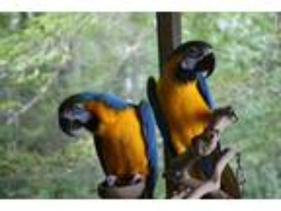 Adopt Ricky and Lucy a Macaw bird in Asheville, NC (17845902)