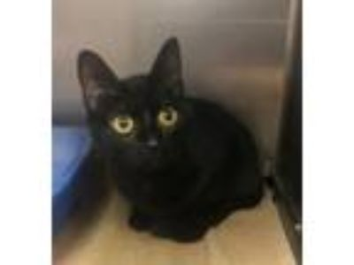 Adopt Cindy Lou - at Cat Tales Cat Cafe a Domestic Short Hair