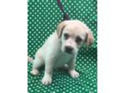 Adopt Nobel a Tan/Yellow/Fawn Labrador Retriever / Beagle / Mixed dog in