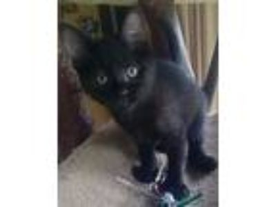 Adopt ADDIE a Extra-Toes Cat / Hemingway Polydactyl, Domestic Short Hair