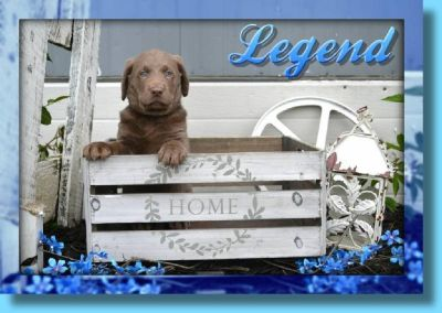 Legend Male Labrador Retriever
