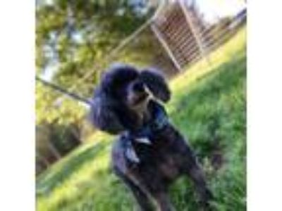 Adopt Diamond a Poodle, Yorkshire Terrier