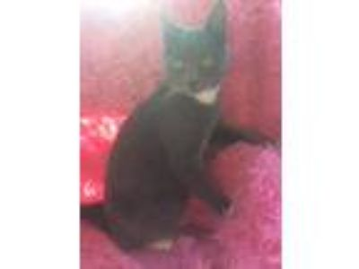 Adopt Kacey a Gray or Blue (Mostly) Domestic Shorthair (short coat) cat in