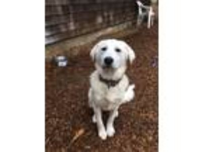 Adopt Sophie a Great Pyrenees, Retriever