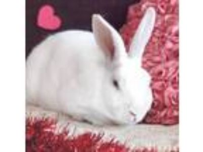 Adopt Seltzer a Albino or Red-Eyed White Rex / Mixed (short coat) rabbit in