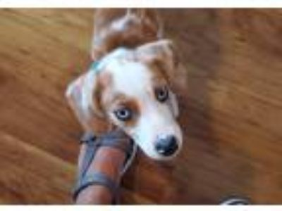 Adopt Abu a White Australian Shepherd / Australian Shepherd / Mixed dog in