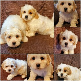 Cavachon Puppies price change