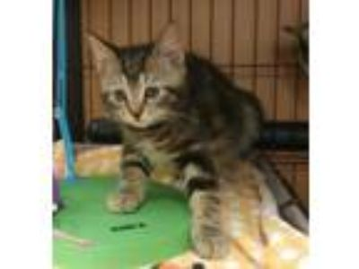 Adopt Meenie a Domestic Short Hair