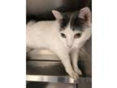 Adopt Tulip a White Domestic Shorthair / Domestic Shorthair / Mixed cat in