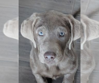Labrador Retriever PUPPY FOR SALE ADN-129294 - 17 week old Silver Labrador