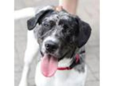 Adopt Acuna a White Catahoula Leopard Dog / Mixed dog in Alpharetta