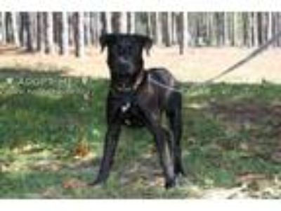 Adopt Leo a Black Labrador Retriever