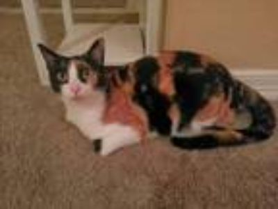 Adopt Phoebe a Calico or Dilute Calico Calico / Mixed cat in Springdale