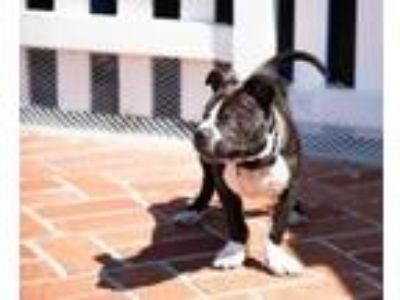 Adopt Golly a Pit Bull Terrier, Boston Terrier