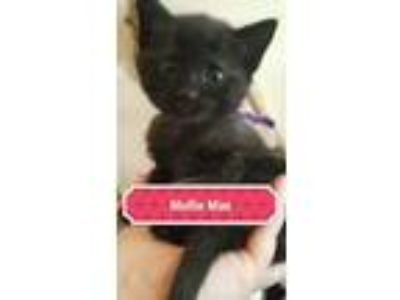 Adopt MOLLIE (Kitten) a Domestic Short Hair