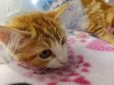 Adopt ELEANOR a Orange or Red Tabby Domestic Shorthair / Mixed (short coat) cat