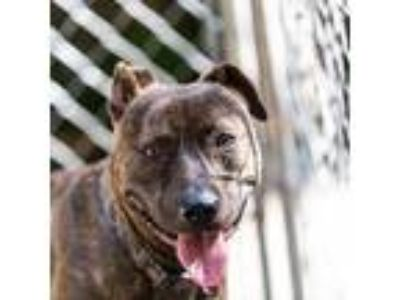 Adopt Happy a Brindle American Pit Bull Terrier / Mixed dog in Decatur