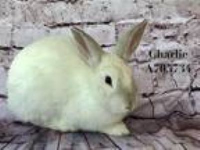 Adopt *CHARLIE a White Other/Unknown / Mixed rabbit in Camarillo, CA (24862735)