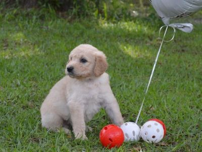 Goldendoodle PUPPY FOR SALE ADN-77795 - F1 standard Goldendoodles