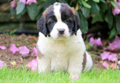 Saint Bernard PUPPY FOR SALE ADN-79262 - Saint Bernard Puppy for Sale