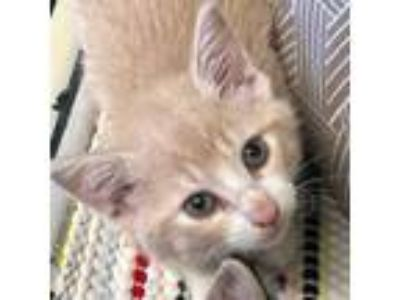 Adopt China a Orange or Red Domestic Shorthair cat in Clarksdale, MS (25764516)