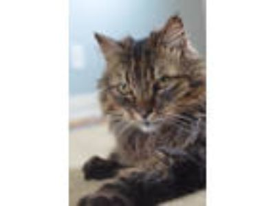 Adopt Callie (June Adoption Special $25) a Maine Coon