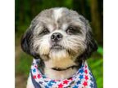 Adopt Lo-Ball a White - with Black Shih Tzu / Mixed dog in Cincinnati