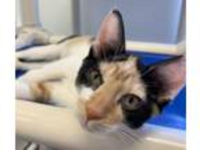 Adopt Hattie a Domestic Short Hair