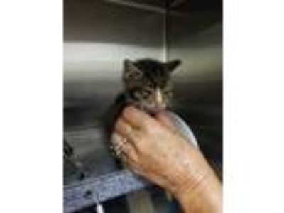 Adopt Sal a Gray, Blue or Silver Tabby Domestic Shorthair (short coat) cat in