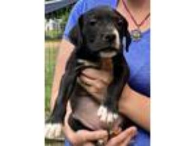 Adopt River a Staffordshire Bull Terrier / Mixed dog in Madison, NJ (25867040)