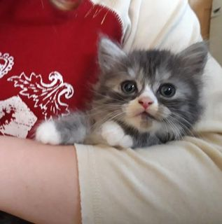 persian kittens are now avialable for their new homes