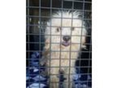 Adopt Rosie a White Poodle (Miniature) / Mixed dog in Seattle, WA (25631637)