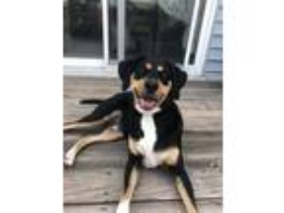 Adopt TJ a Black - with White Coonhound / Mixed dog in New Oxford, PA (25586575)