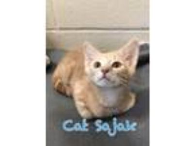 Adopt Cat Sajak 116078 a Orange or Red Domestic Shorthair (short coat) cat in