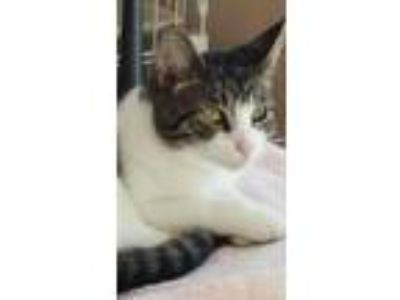 Adopt Jingle Lilly a Domestic Shorthair / Mixed (short coat) cat in Northport
