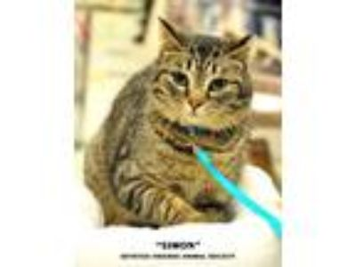 Adopt Simon a Brown Tabby Domestic Shorthair (short coat) cat in Ortonville