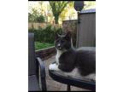 Adopt Kitty a Gray or Blue (Mostly) Domestic Shorthair / Mixed cat in Kansas