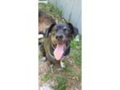 Adopt Shadow a Labrador Retriever, Hound