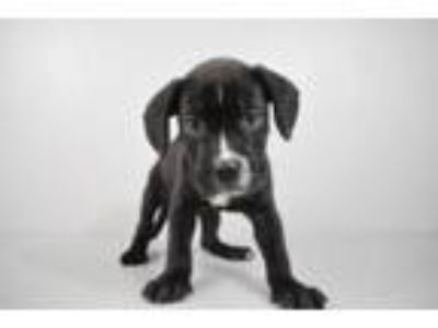 Adopt Frog a Retriever, Mixed Breed
