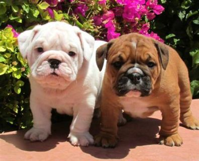 $250, Adorable English Bulldog Puppies.call or text 289-335-7089
