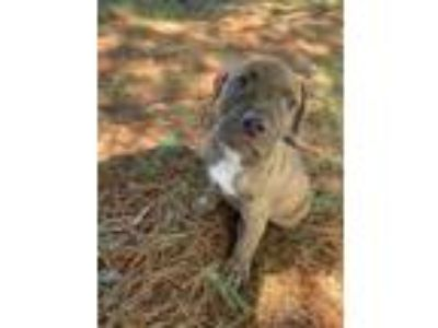 Adopt Texan a American Staffordshire Terrier, Pit Bull Terrier