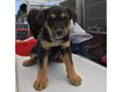 Adopt 10016 a Brown/Chocolate Shepherd (Unknown Type) dog in Las Cruces