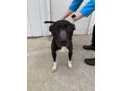 Adopt Achilles a Black American Pit Bull Terrier / Mixed dog in Vincennes