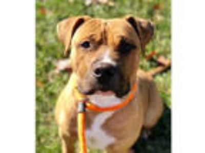 Adopt JACKSON a Tan/Yellow/Fawn - with White American Pit Bull Terrier / Mixed