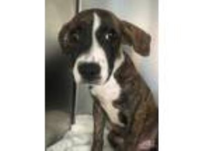 Adopt Maddie a Brindle Hound (Unknown Type) / Cavalier King Charles Spaniel /