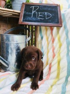 Labrador Retriever PUPPY FOR SALE ADN-90382 - AKC REGISTERED ENGLISH LABRADOR RETRIEVERS